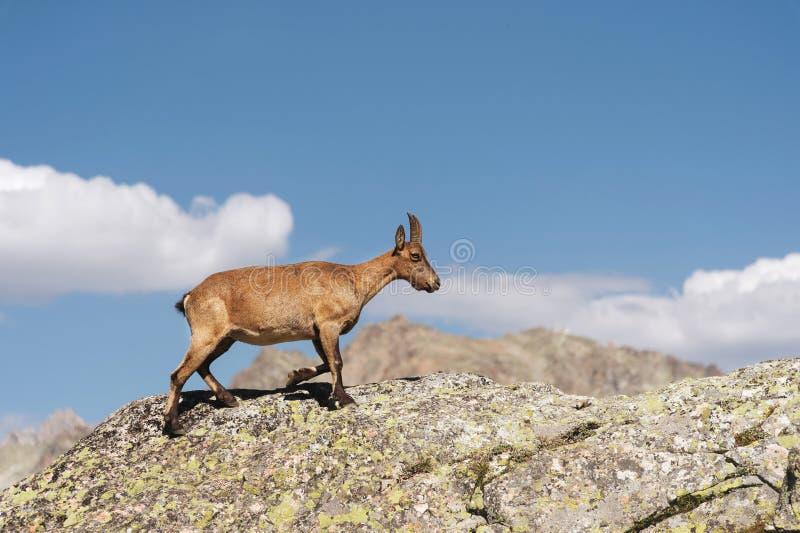 Giovane capra ibex alpino femminile sull'alta pietra delle rocce in montagne di Dombay Caucaso del nord La Russia fotografie stock libere da diritti