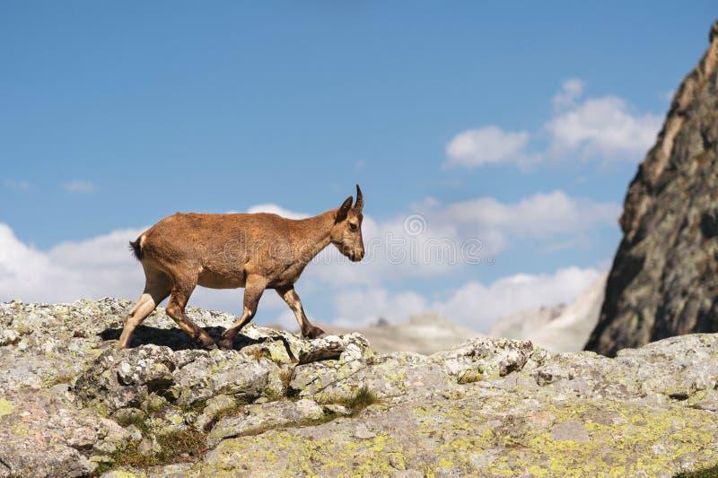Giovane capra ibex alpino femminile sull'alta pietra delle rocce in montagne di Dombay Caucaso del nord La Russia immagini stock libere da diritti