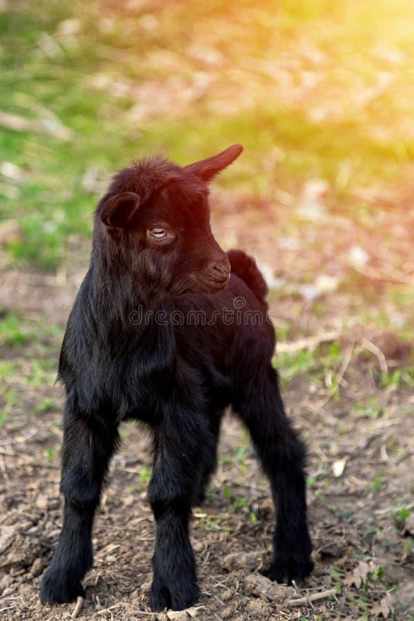 Giovane capra nera in pascolo che esamina la macchina fotografica fotografia stock