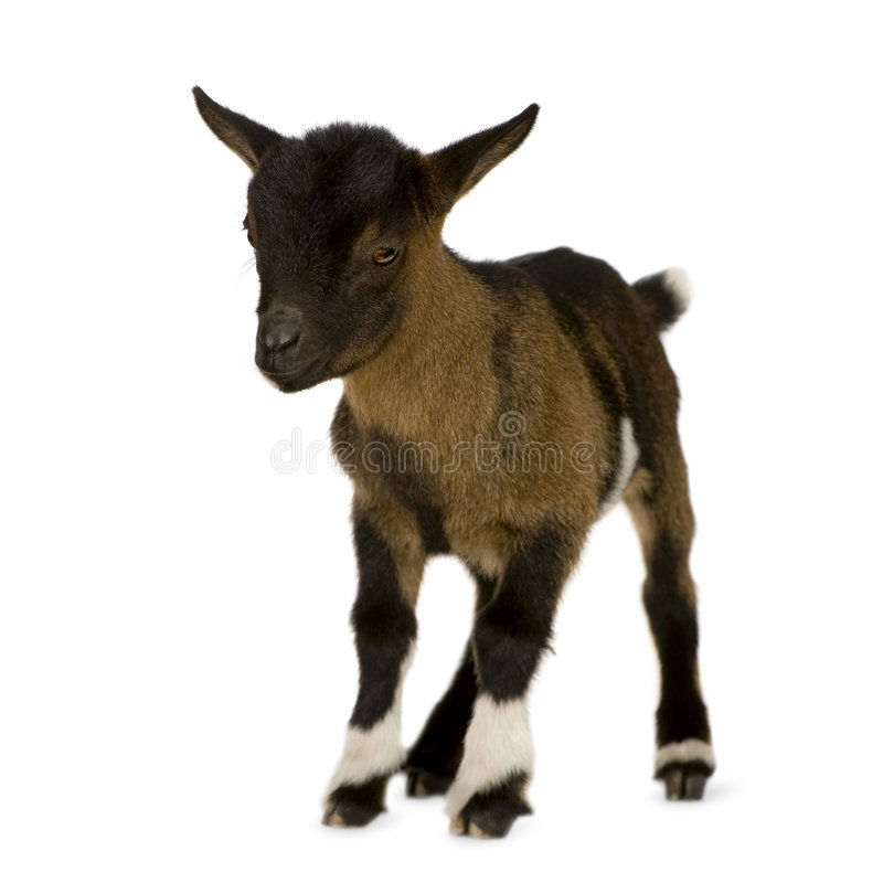 Giovane capra pigmea fotografia stock