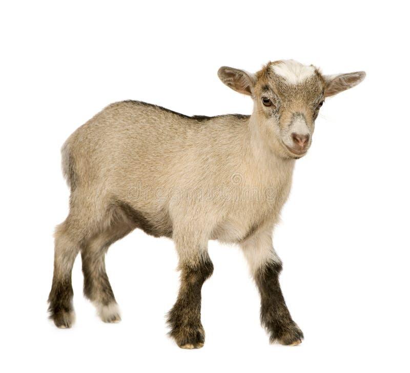 Giovane capra pigmea fotografia stock libera da diritti