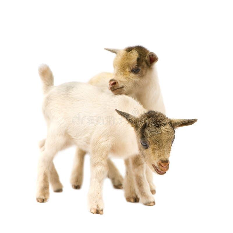 Giovane capra pigmea fotografie stock