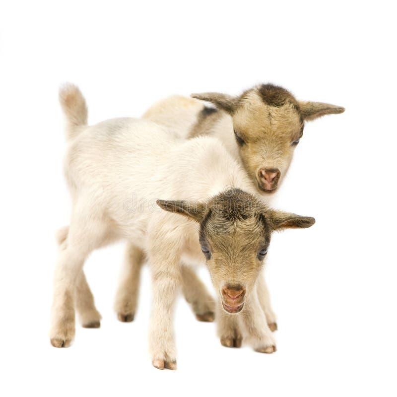 Giovane capra pigmea immagine stock libera da diritti