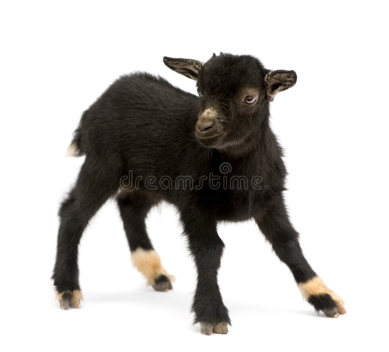Giovane capra pigmea immagini stock libere da diritti