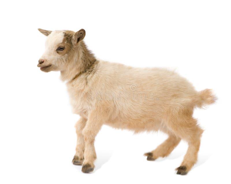 Giovane capra pigmea immagini stock