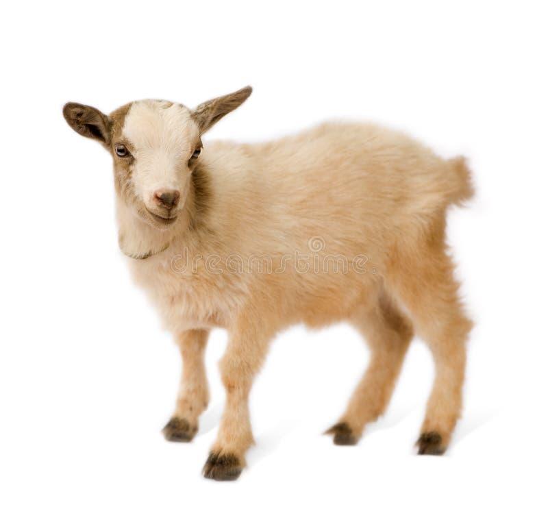 Giovane capra pigmea fotografie stock libere da diritti