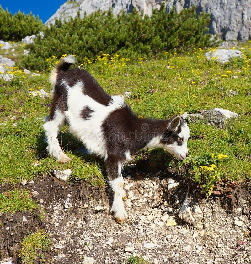 Giovane capra sul pascolo fotografia stock libera da diritti