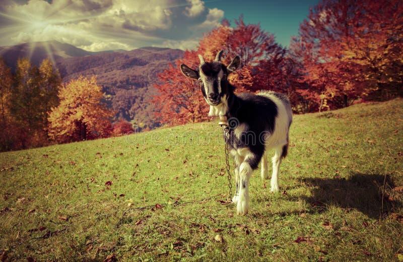 Giovane capra sul pascolo nelle montagne in autunno fotografia stock