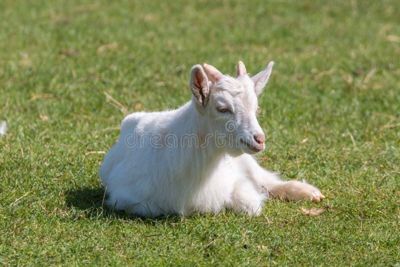 Giovane capra sul pascolo verde fotografia stock
