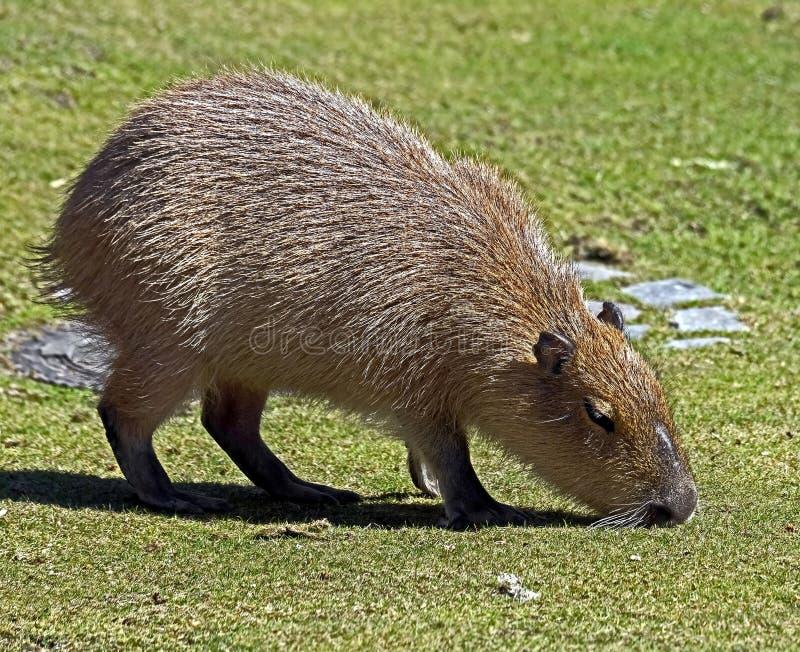 Giovane capybara fotografie stock