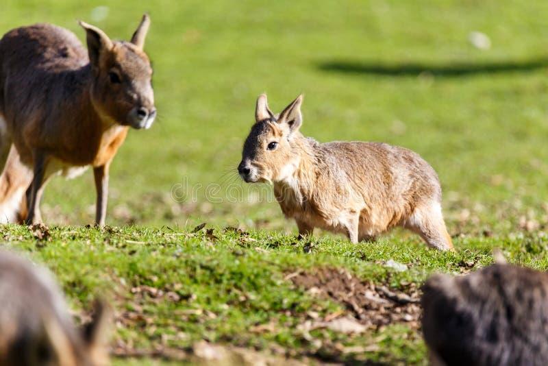 Giovane capybara che corre nell'erba breve fotografie stock libere da diritti