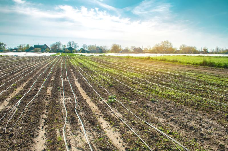 Giovane carota crescente nel campo Irrigazione a goccia Piantagioni agricole Verdure organiche agricoltura agricoltura morbido fotografie stock