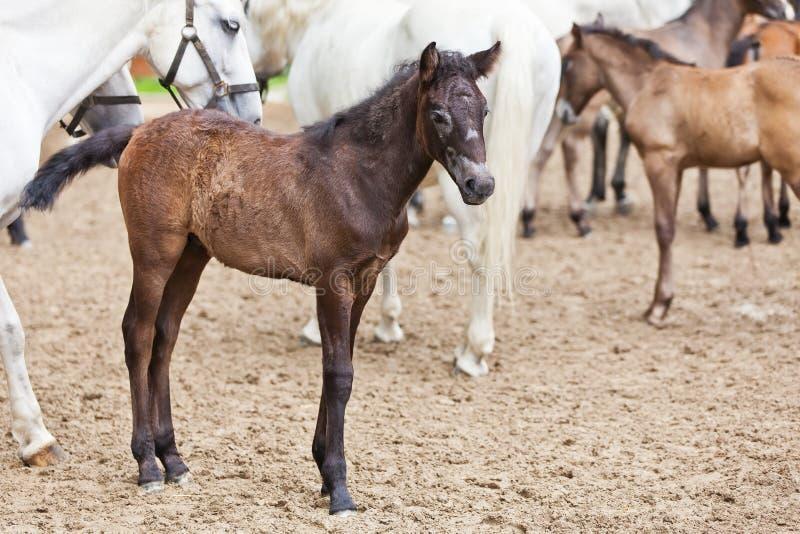 Giovane cavallo marrone di Lipizzan sull'azienda agricola d'impanamento immagine stock libera da diritti
