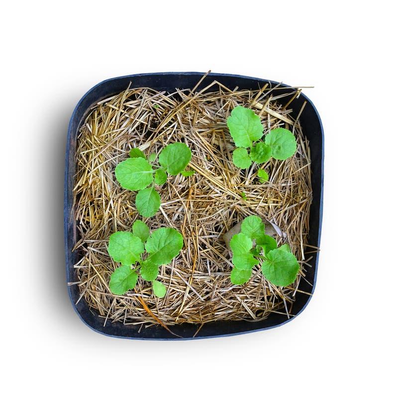 Giovane cavolo cinese coltivato su paglia nel diagramma di verdure immagini stock libere da diritti