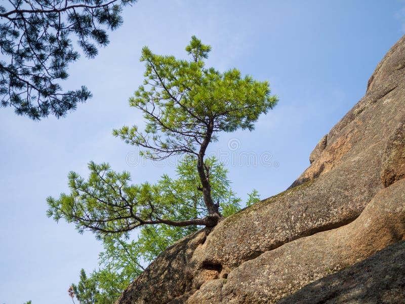 Giovane cedro siberiano del bello paesaggio che cresce su una roccia immagini stock