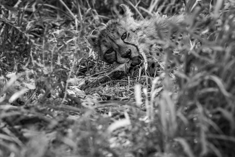 Giovane cibo del ghepardo fotografie stock