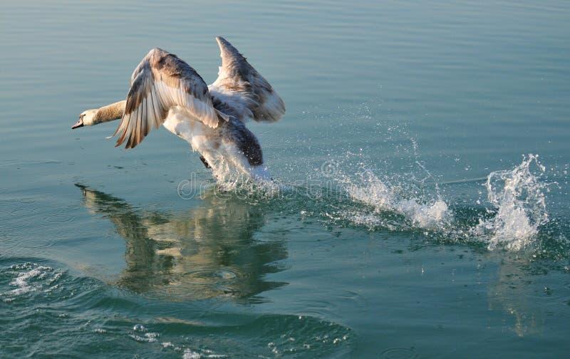 Giovane cigno che decolla mentre riflesso nell'acqua del Balaton fotografia stock libera da diritti