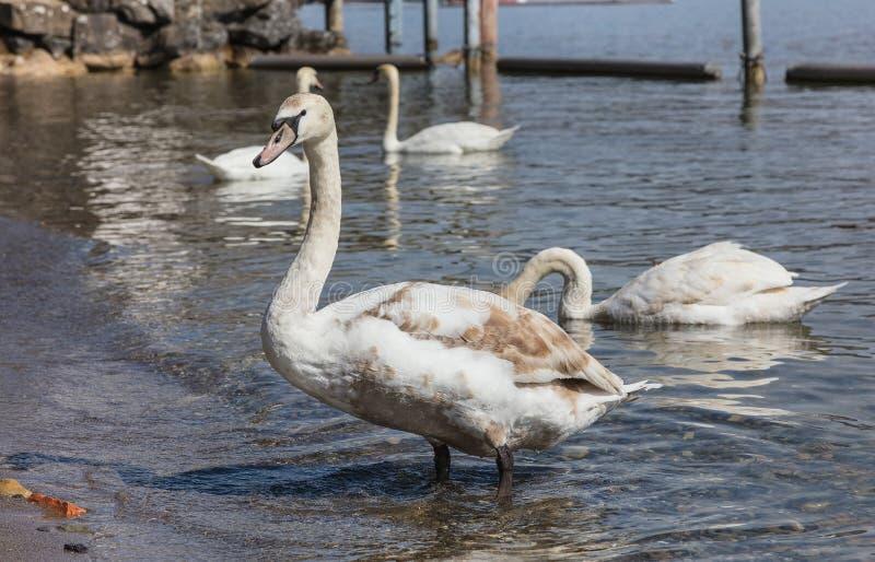Giovane cigno sul lago Zurigo in Svizzera immagine stock libera da diritti