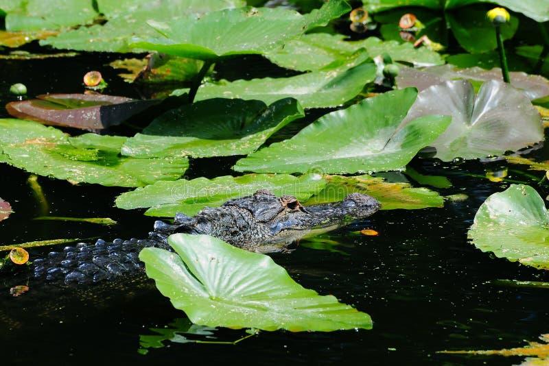 Giovane coccodrillo fotografie stock libere da diritti