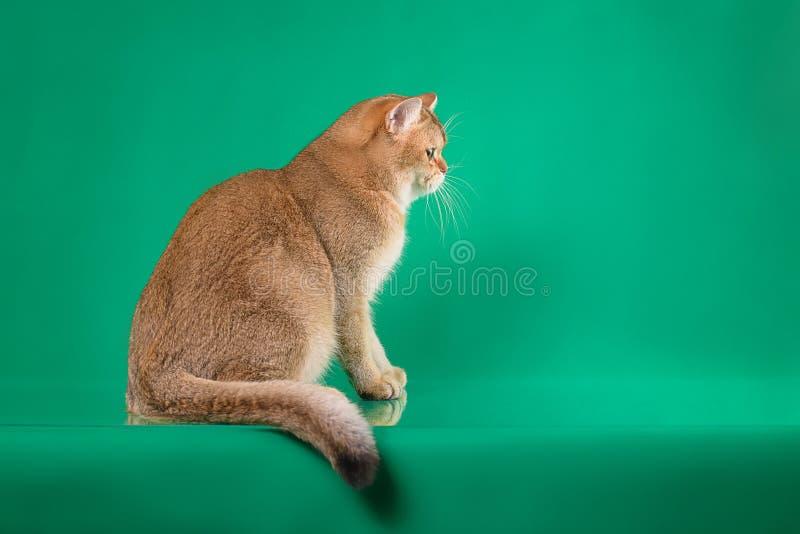 Giovane colore dell'oro del catof dello shorthair britannico, gattino della Gran-Bretagna che si siede sul fondo verde, vista di  fotografia stock
