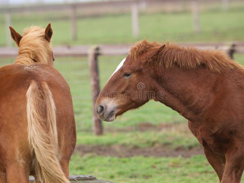 Giovane comportamento del cavallo fotografia stock libera da diritti