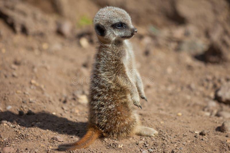 Giovane condizione di Meerkat (suricate) fotografia stock libera da diritti