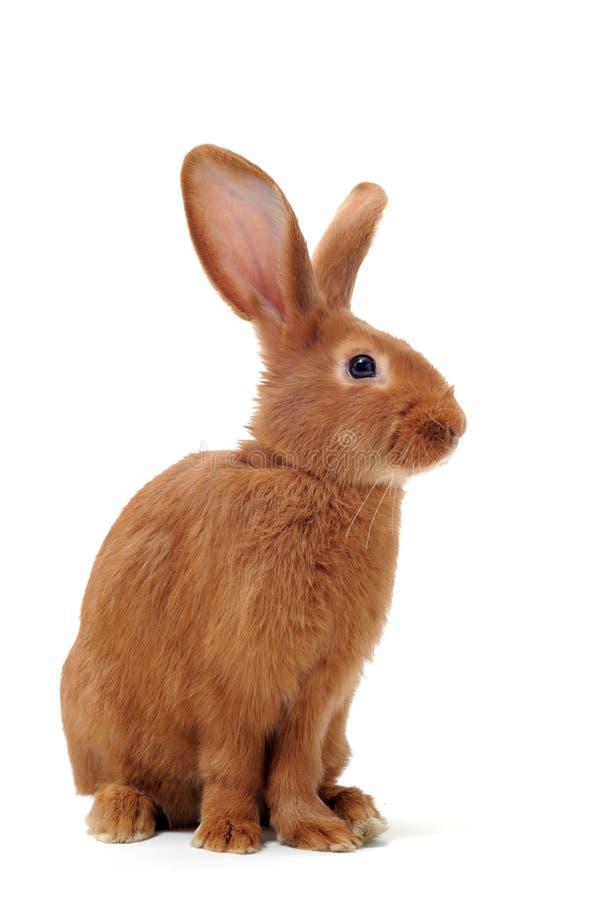 Giovane coniglio fotografie stock