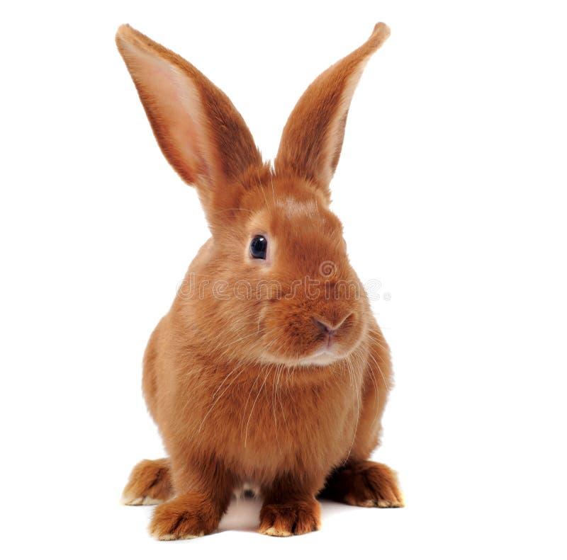 Giovane coniglio immagini stock