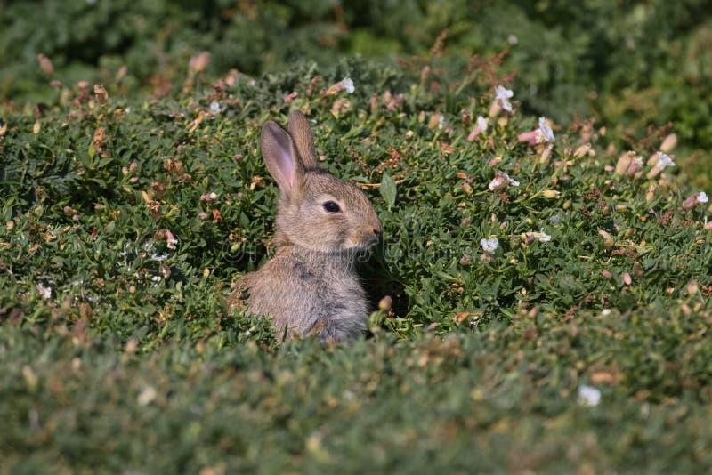 Giovane coniglio europeo immagine stock libera da diritti
