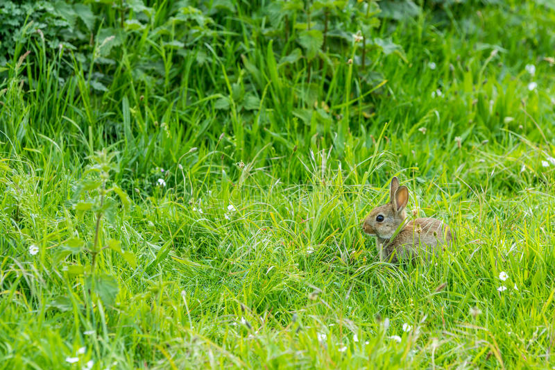 Giovane coniglio europeo immagini stock libere da diritti