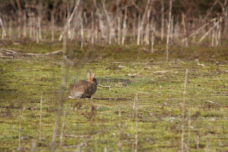 Giovane coniglio europeo fotografia stock