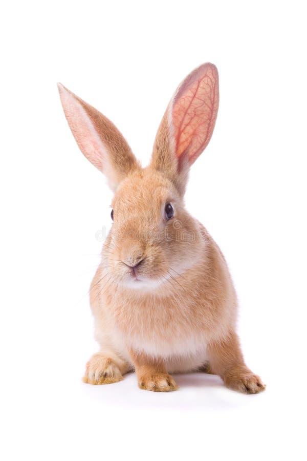 Giovane coniglio rosso curioso fotografie stock