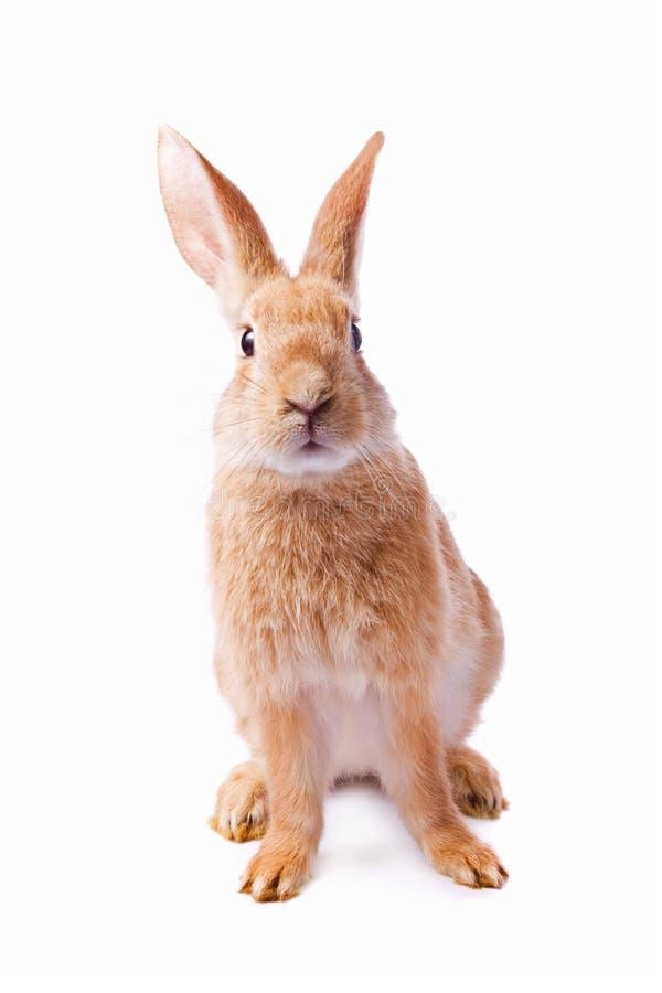 Giovane coniglio rosso curioso isolato immagini stock