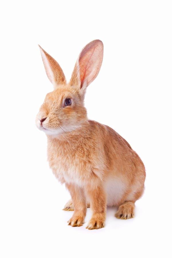 Giovane coniglio rosso curioso isolato immagine stock libera da diritti