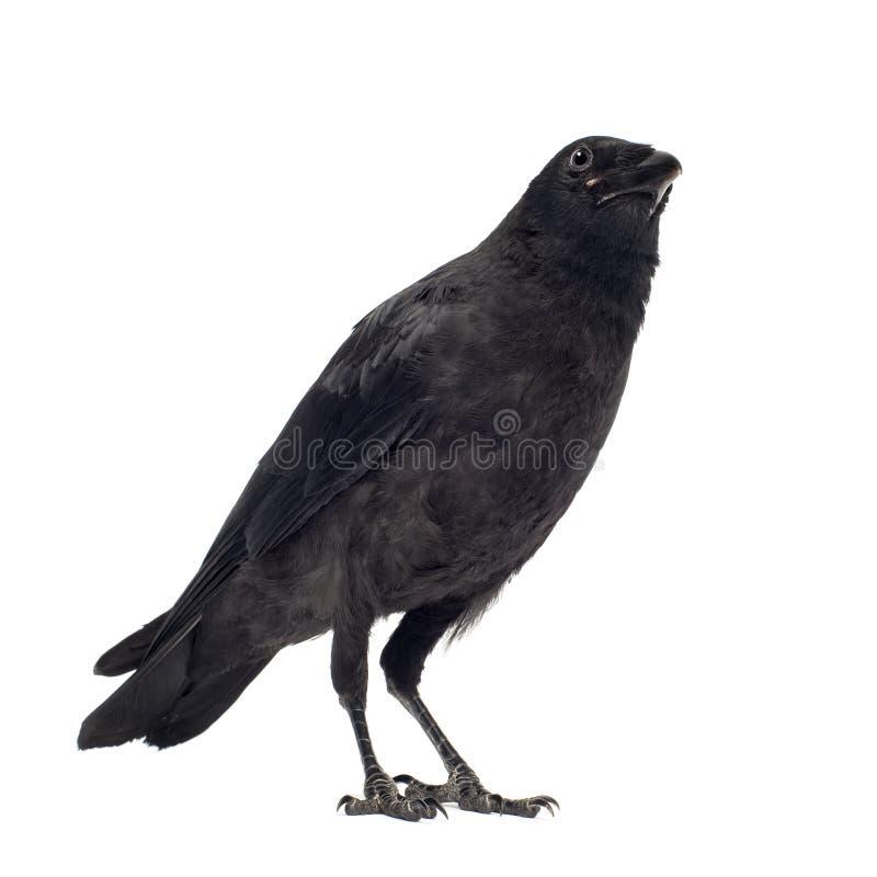 Giovane corvo di Carrion - corone del Corvus (3 mesi) fotografia stock