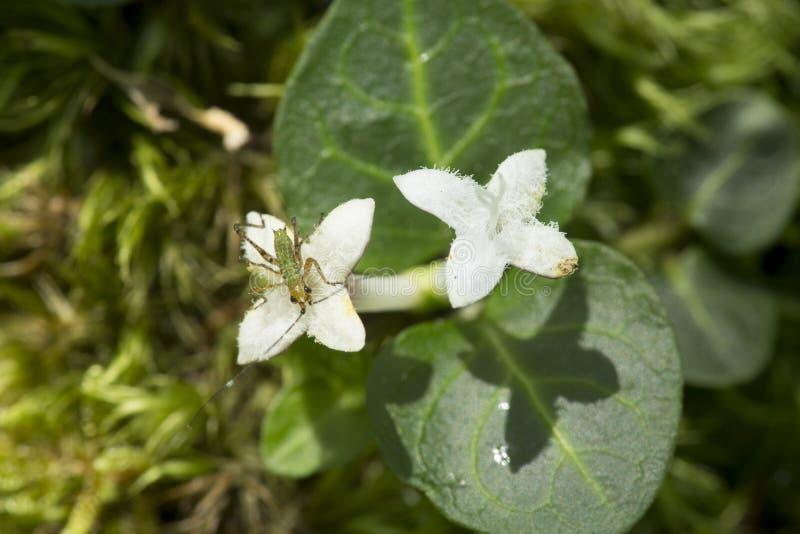 Giovane crisalide di un katydid del cespuglio in Vernon, Connecticut immagine stock