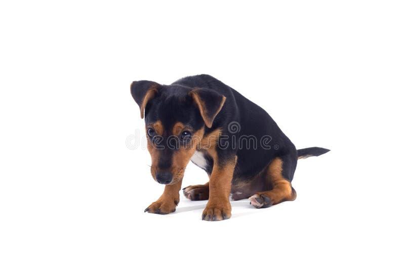 Giovane cucciolo fotografia stock libera da diritti