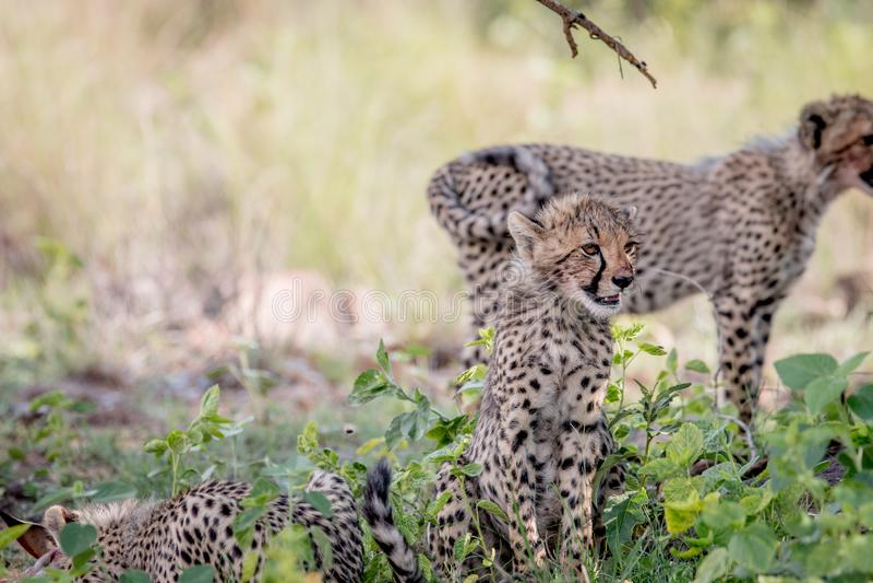 Giovane cucciolo del ghepardo che si siede nell'erba immagine stock libera da diritti