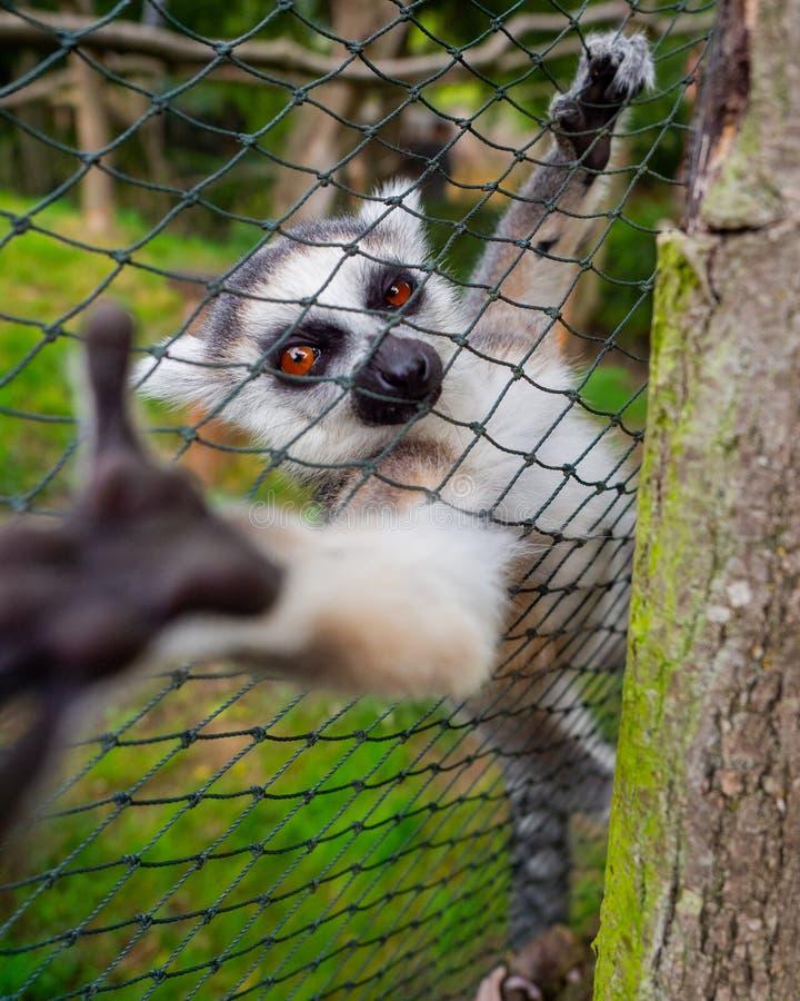 Giovane curioso lemure fotografia stock libera da diritti