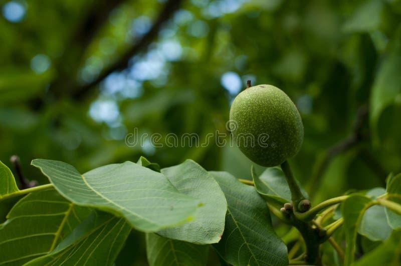 Giovane dado sull'albero Frutta verde sull'albero immagine stock