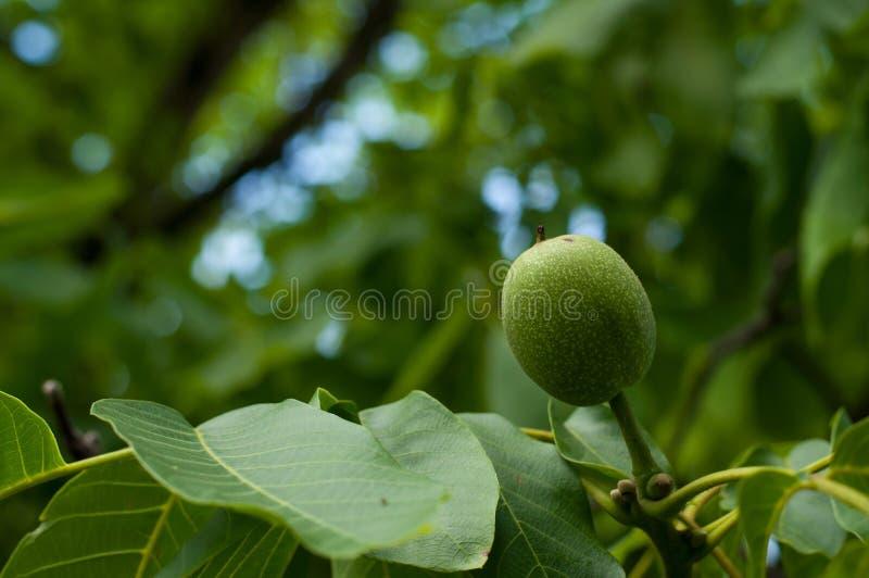 Giovane dado sull'albero Frutta verde sull'albero immagini stock