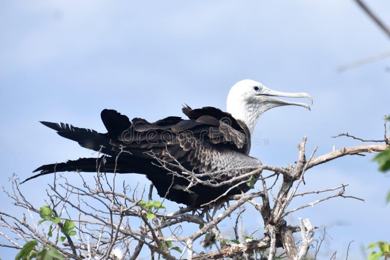 Giovane dell'uccello di fregata sul ramo immagini stock
