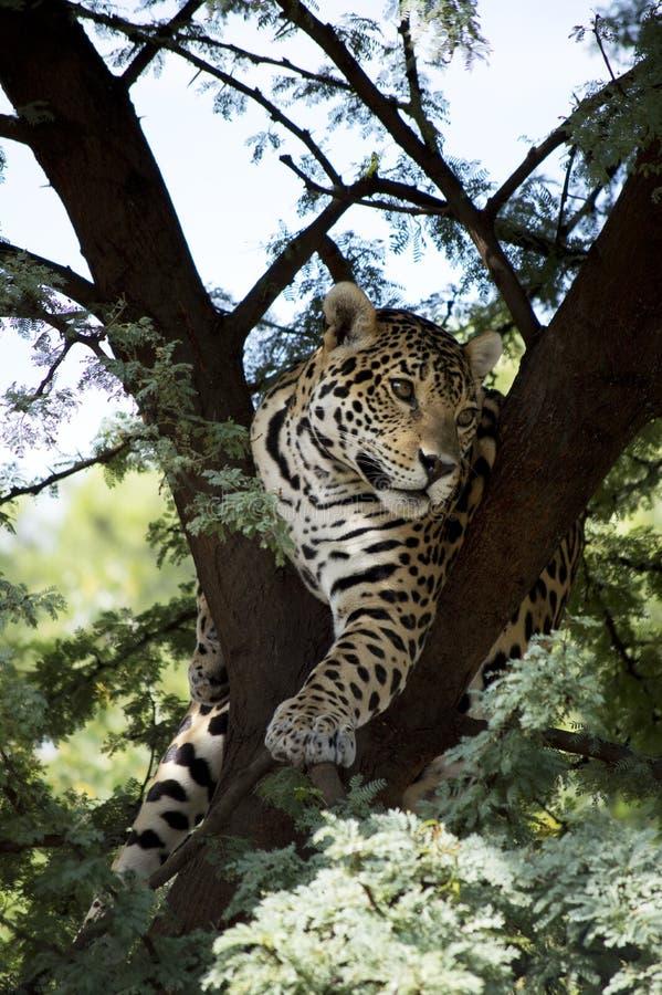 Giovane di Jaguar immagine stock