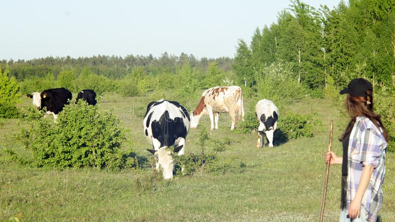 Giovane donna che pasce le mucche fotografia stock