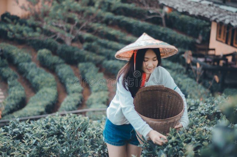 Giovane donna che raccoglie le foglie di tè immagine stock