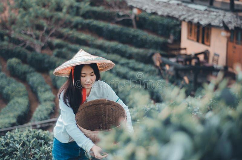Giovane donna che raccoglie le foglie di t? immagini stock