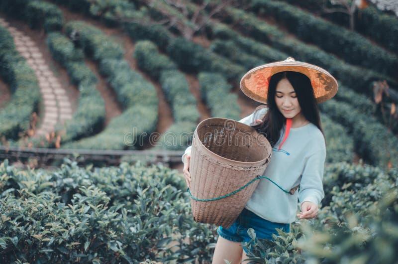 Giovane donna che raccoglie le foglie di t? fotografia stock libera da diritti
