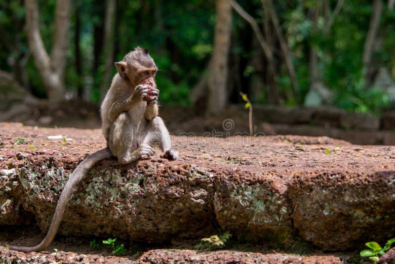 Giovane e frutta divorante affamata della scimmia di macaco immagine stock libera da diritti