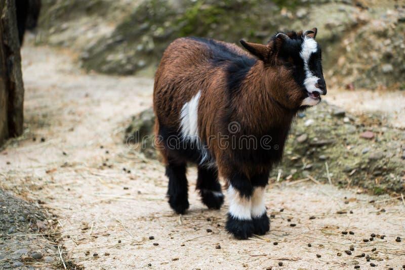 Giovane e piccola capra che sta con la sua bocca aperta immagine stock