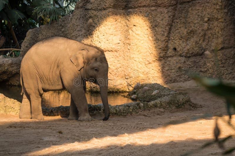 Giovane e piccolo elefante del bambino che cammina intorno allo zoo immagine stock